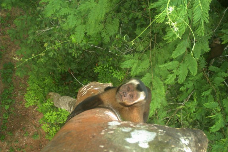 Brown, or tufted, capuchin climbing.