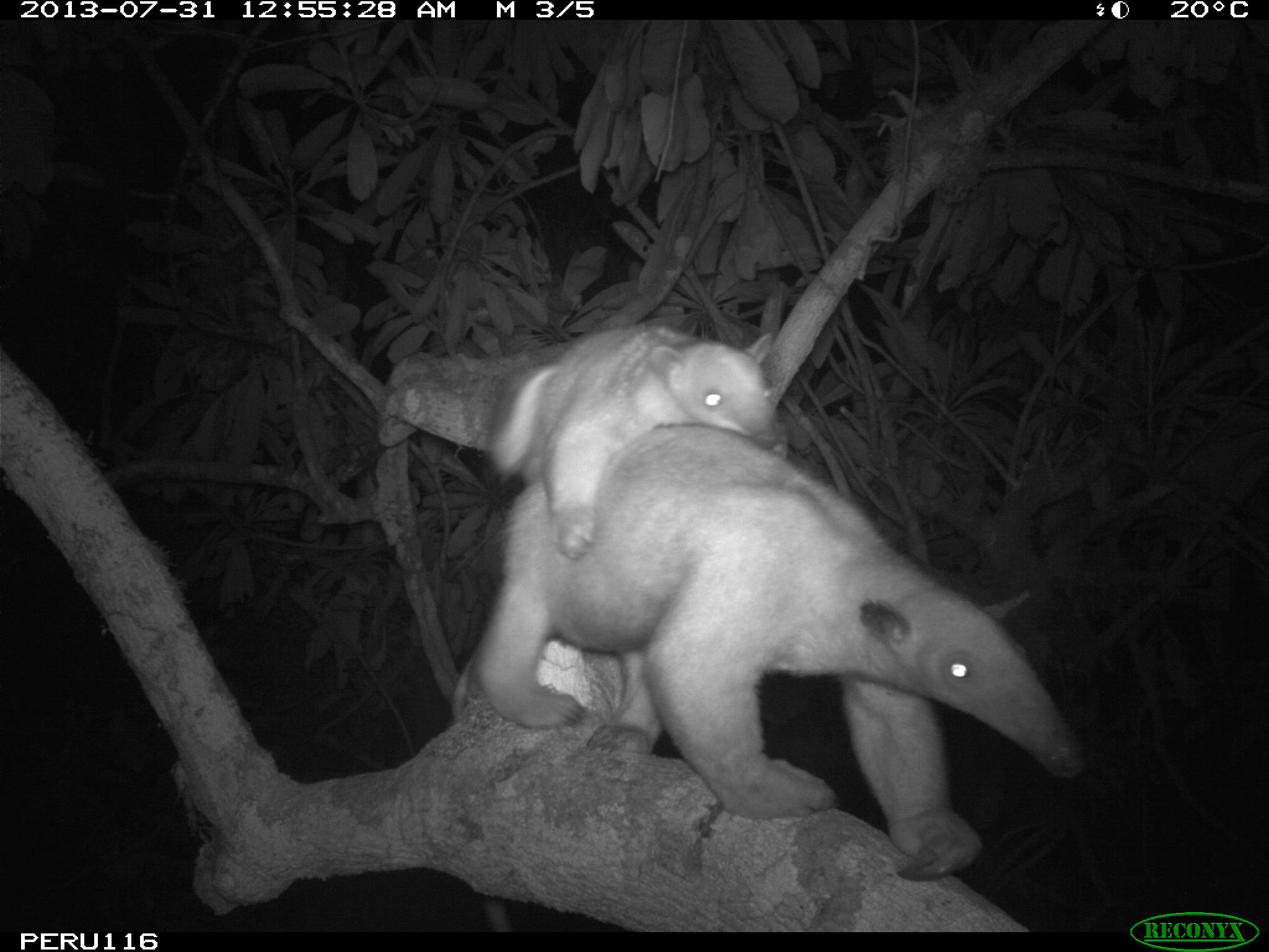 Tamandua and her young cross the canopy bridge after midnight.