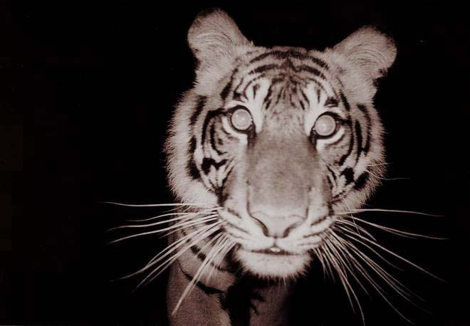 Curious Sumatran tiger caught on camera