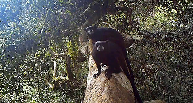 A pair of black-mantled tamarins in the canopy wonder about the device that is taking their photo