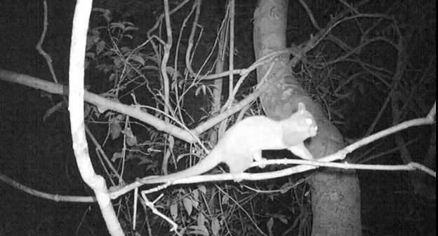 An infrared flash shows this nocturnal western woolly opossum without bothering it.