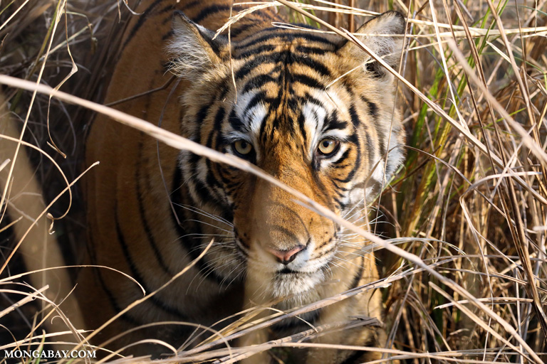 A Bengal tiger, pictured here at the Ranthambore National Park. (Credit: Rhett A Butler / Mongabay)