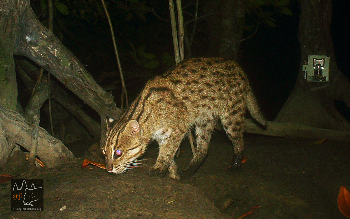 Rare fishing cat photographed in cambodia for The fishing cat