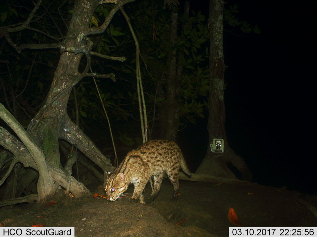 Rare Fishing Cat Photographed