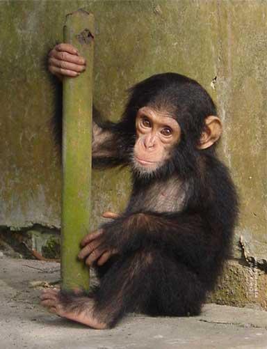 African great ape bushmeat crisis intensifies