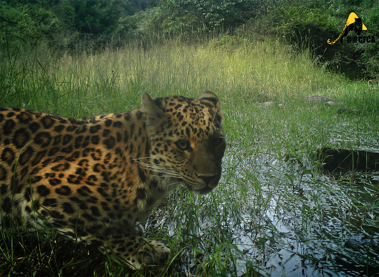 A camera trap image shows a North China leopard drinking water in 2016. Photo courtesy of Chinese Felid Conservation Alliance.