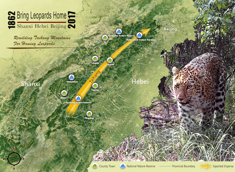 "Promotional material from the ""Bring Leopards Home"" campaign, which aims to allow the leopard to move freely along the Taihang Mountain range in Shanxi and Hebei provinces. Image courtesy of Chinese Felid Conservation Alliance."