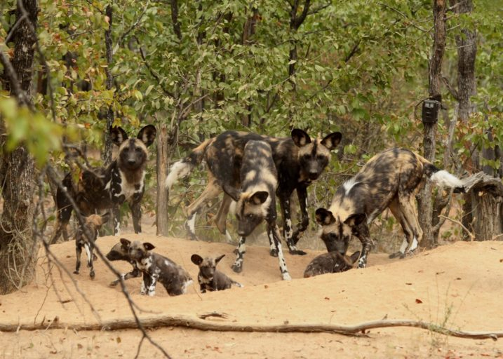 Climate change is increasing the mortality rate of African wild dog pups
