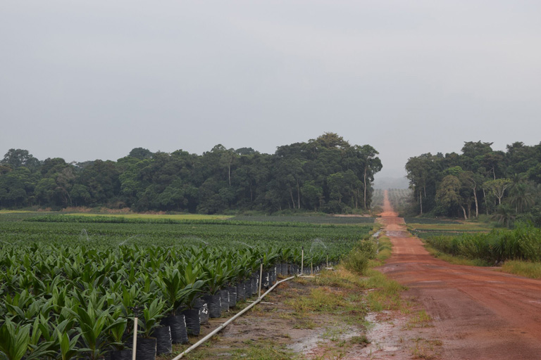 Olam's oil palm nursery on its plantations in Mouila, Gabon, with a riparian area in the background and the palm plantation stretching toward the horizon. Use of water for irrigation for the palm oil nurseries has caused some dispute with local communities. Courtesy of Mighty