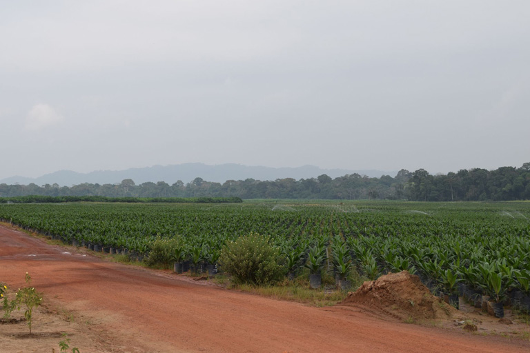 A view of Olam's oil palm nursery under irrigation. Courtesy of Mighty