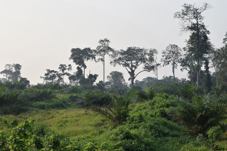 Palm oil trees near the border of a conservation area. Courtesy of Mighty
