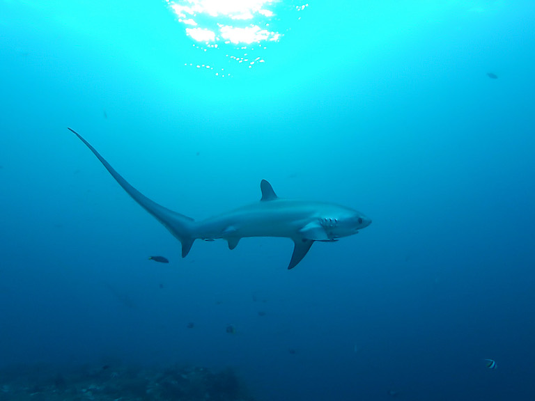 A thresher shark (Alopias vulpinus). The species is doing well off the Pacific Coast of North America. In the U.S., fishers catch them whole. Photo by Thomas Alexander via Wikimedia Commons (CC BY-SA 4.0).