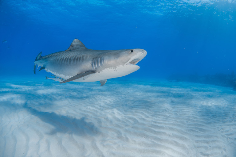A tiger shark (Galeocerdo cuvier) sneezes in the Bahamas. Tiger sharks are fished for sport and commercially for their fins, liver oil, skin, and other products. While still common, the species is listed as Near Threatened by the IUCN because overfishing could put these sharks in danger. Photo by Nicodemo Ientile.
