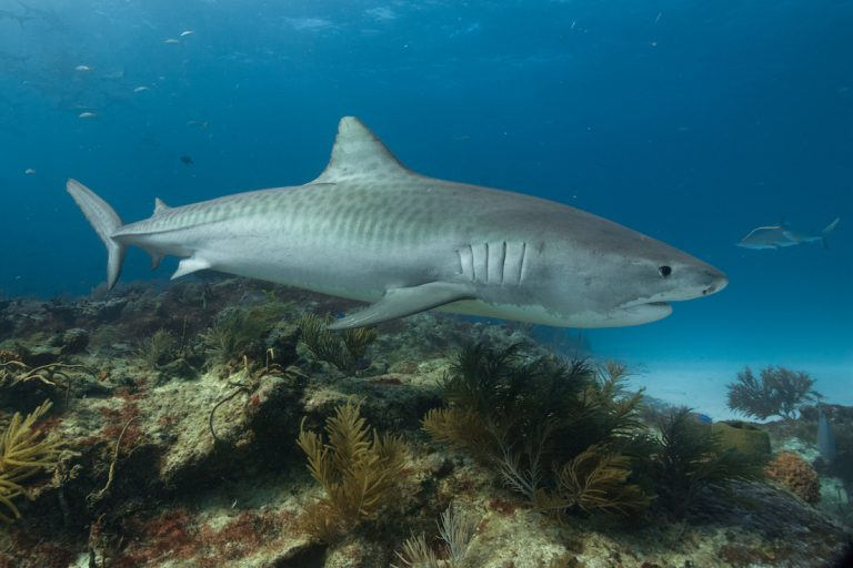 A tiger shark (Galeocerdo cuvier) in the Bahamas. Photo by Bethany Augliere.