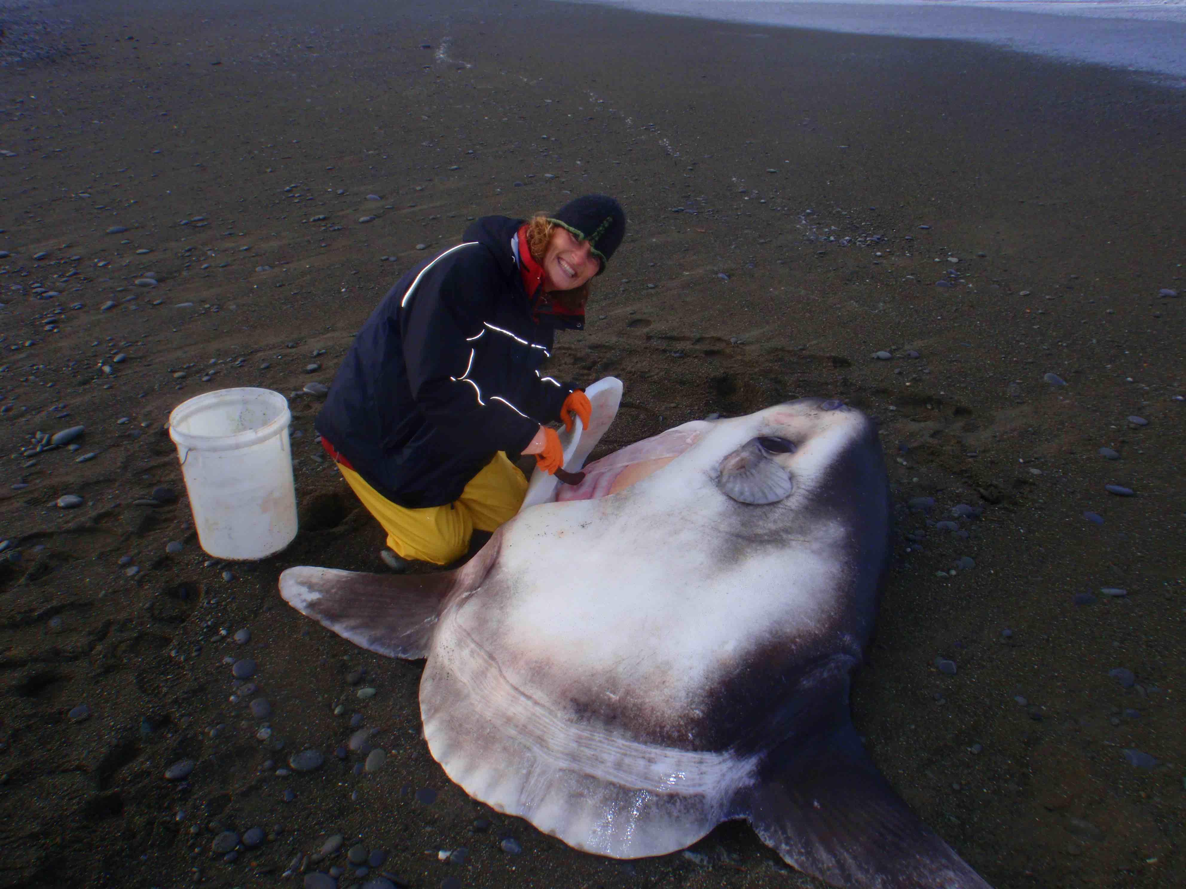 Marianne Nyegaard con un pez luna timador varado en Nueva Zelanda.