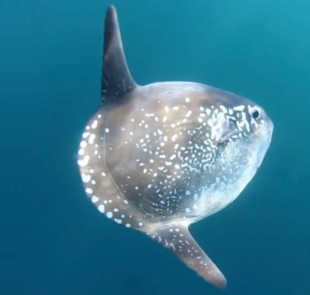 Meet the new giant sunfish that has evaded scientists for for New fish discovered