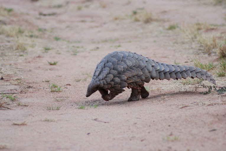 Pangolin hunting in central Africa worsening, driven by ...