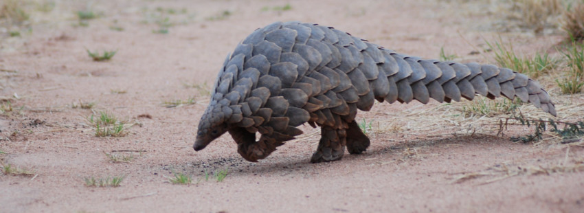 Pangolin hunting skyrockets in Central Africa, driven by international trade