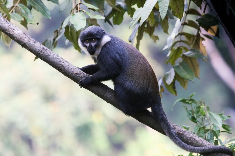 A L'hoest monkey in Uganda appreciating additional forest protection.