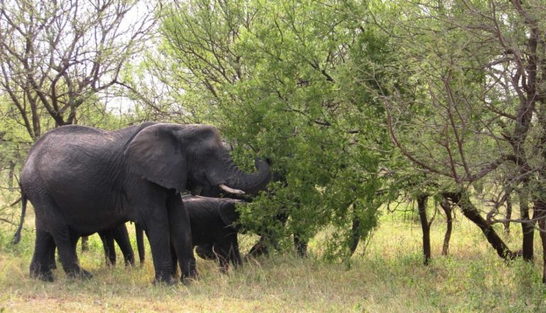 Elephants eat and knock down trees, which in some cases may open up vegetation and resemble forest clearing