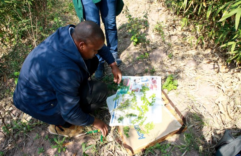 Thabiso Cele (Invasive Species Programme of the South African National Biodiversity Institute) takes a herbarium sample of a potentially invasive weed