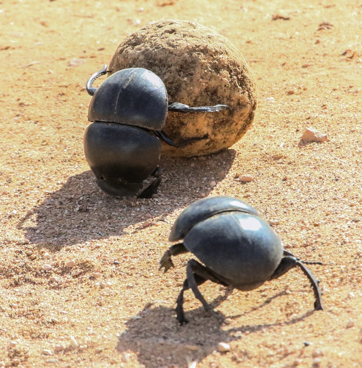 Flightless dung beetles have a very restricted range at the southern tip of Africa.