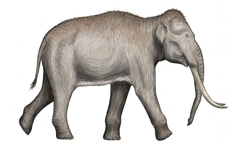 The straight-tusked elephant, based on a skeletal depiction and the anatomy of the modern Asian elephant.