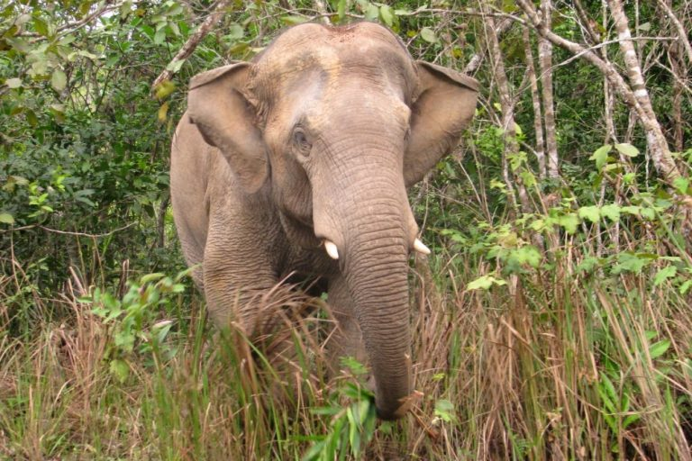Asian elephants also live in and around forests