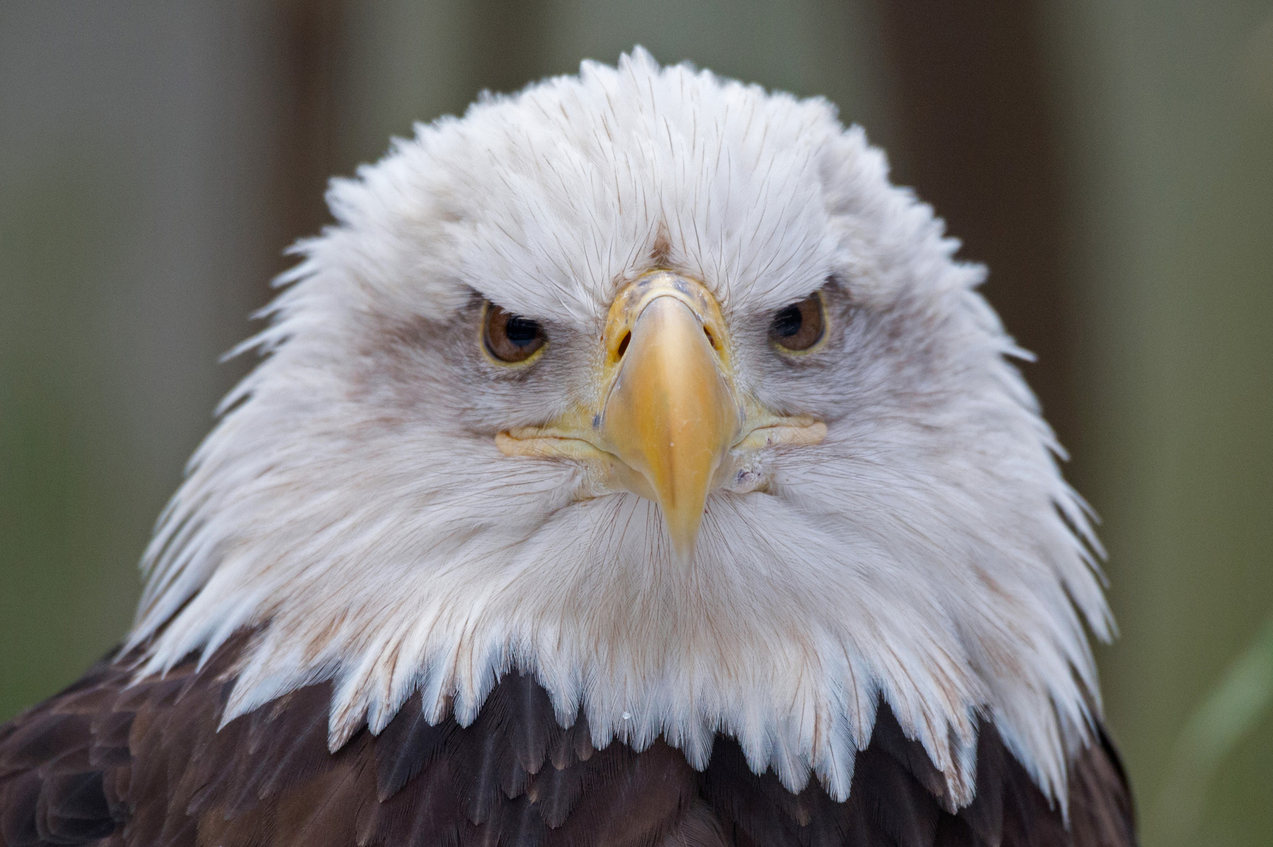 Photos Bald Eagle Bird Bath