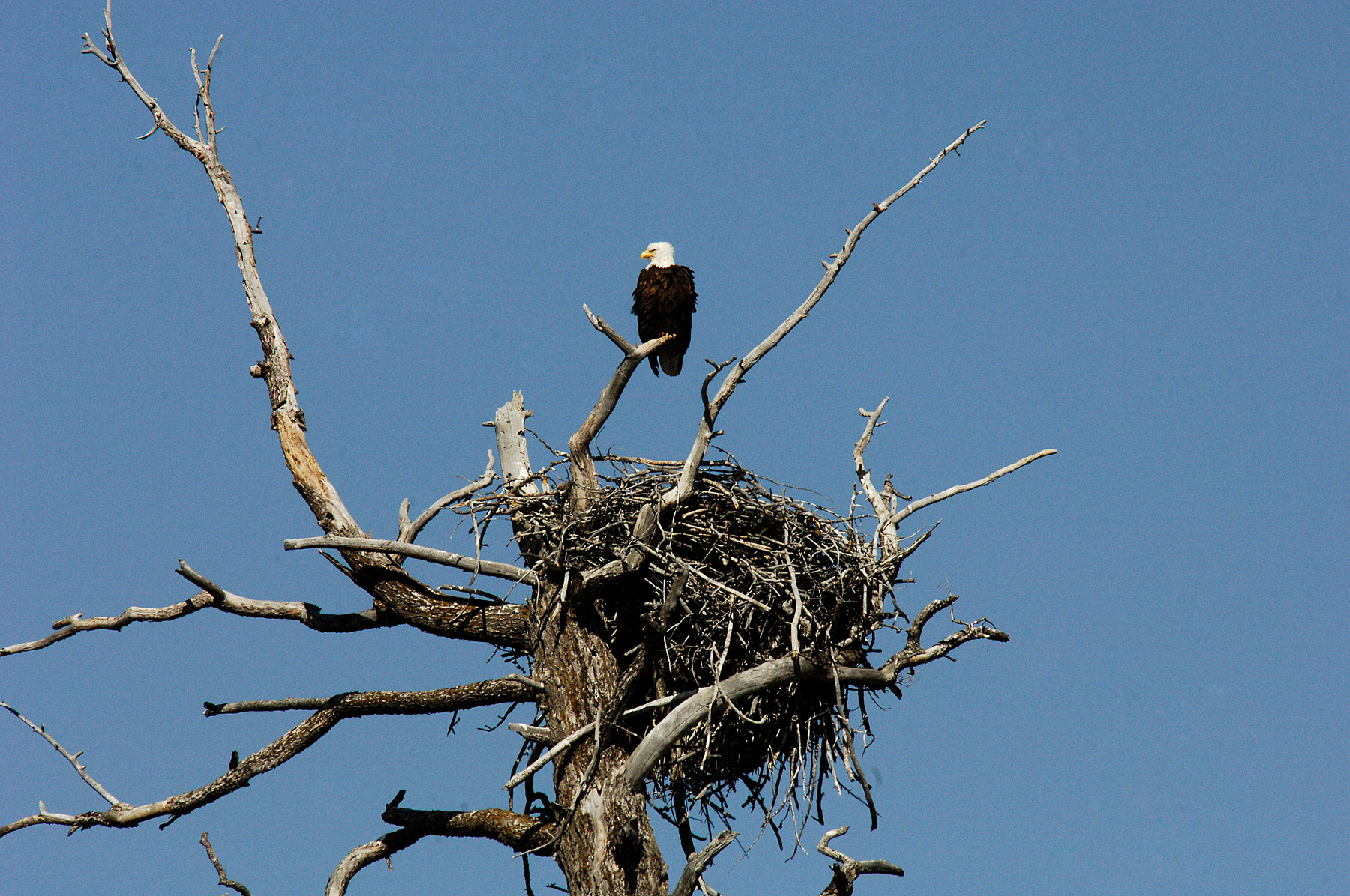 Average Size Of Bald Eagle Nest Mtm In Photos Diagrams Topos Summitpost Download