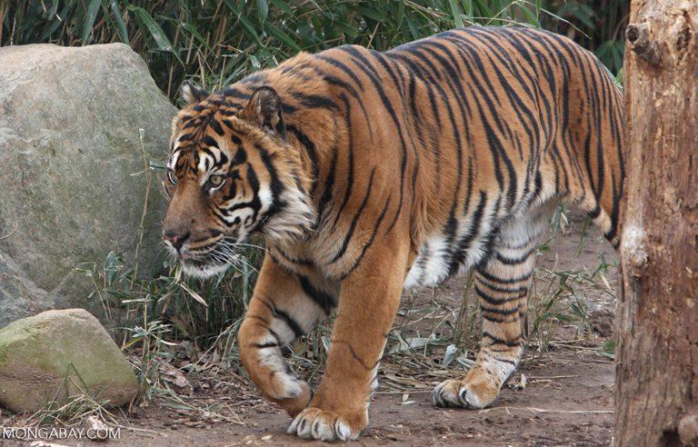 Harimau Sumatera Terus Diburu Meski Statusnya Dilindungi