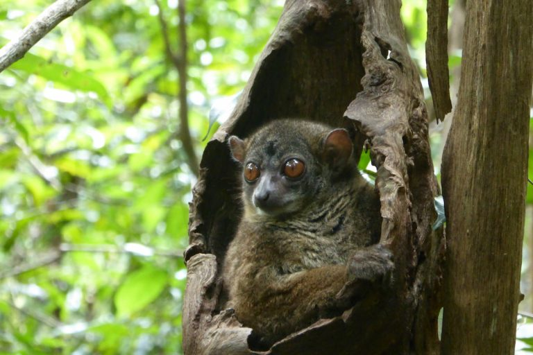The Mittermeier sportive lemur (Lepilemur mittermeieri) is found only on the Ampasindava peninsula. Researchers warn that its population could be harmed if TREM moves ahead. Photo by Leslie Wilmet.