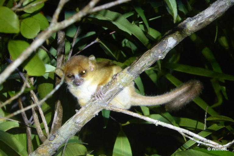 An endangered Sambirano mouse lemur (Microcebus sambiranensis), which is found only in two or three small populations in northwest Madagascar, including one on the Ampasindava peninsula. Photo by Leslie Wilmet.