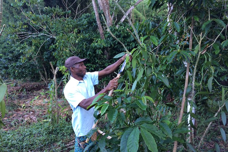 A farmer inspects vanilla plants near his home on the Ampasindava peninsula. Coffee beans, nearly ripe, are on the trees just behind the vanilla. Cash crops such as these are the main livelihood for Ampasindava families. Photo by Edward Carver for Mongabay.