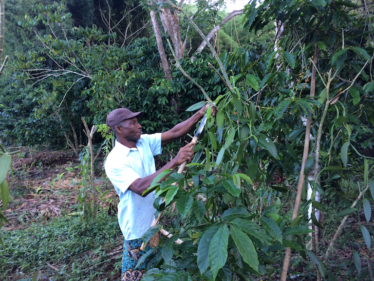 Solondraza inspects vanilla plants near his home. Coffee beans, nearly ripe, are on the trees just behind the vanilla. Cash crops such as these are the main livelihood for Ampasindava families. Photo by Edward Carver for Mongabay.