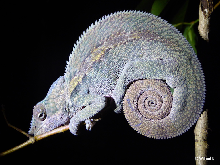 An unknown species of chameleon that resides on the Ampasindava peninsula. Photo by Leslie Wilmet.