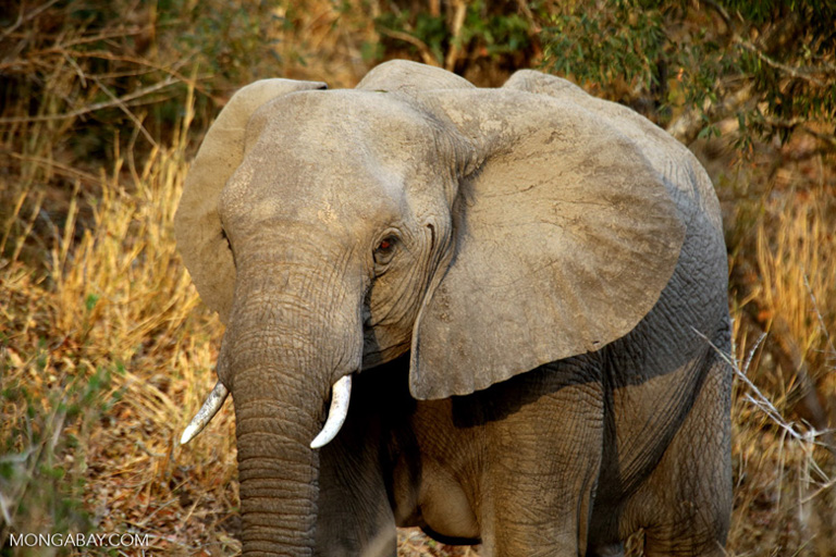 """POLL: Should the export of """"legal ivory"""" be made illegal?"""