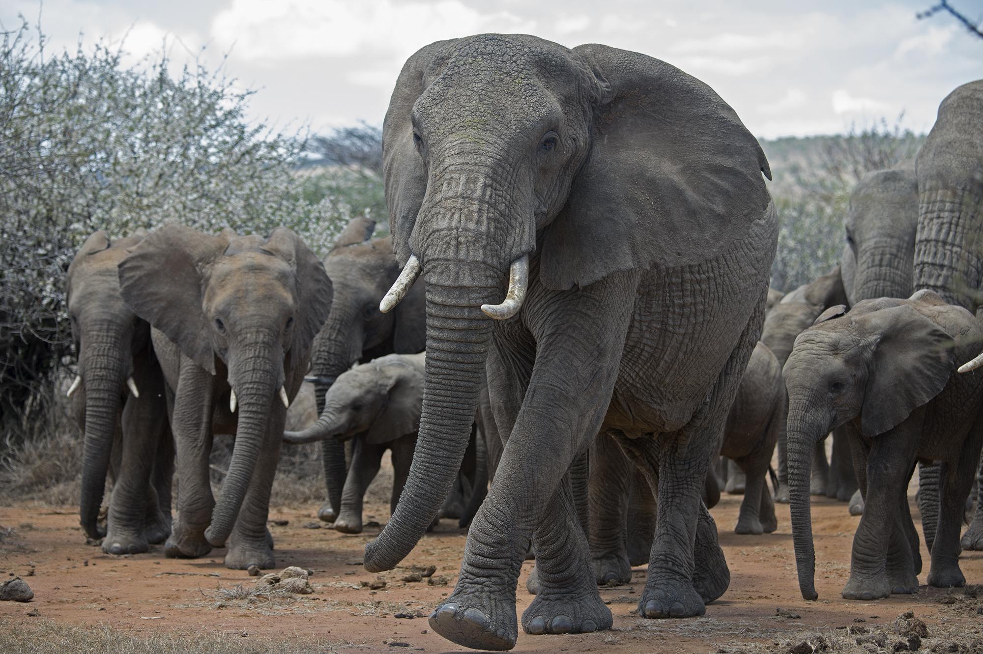 1-Julie-Larsen-Maher_6422_African-Elephants_KEN_03-09-14