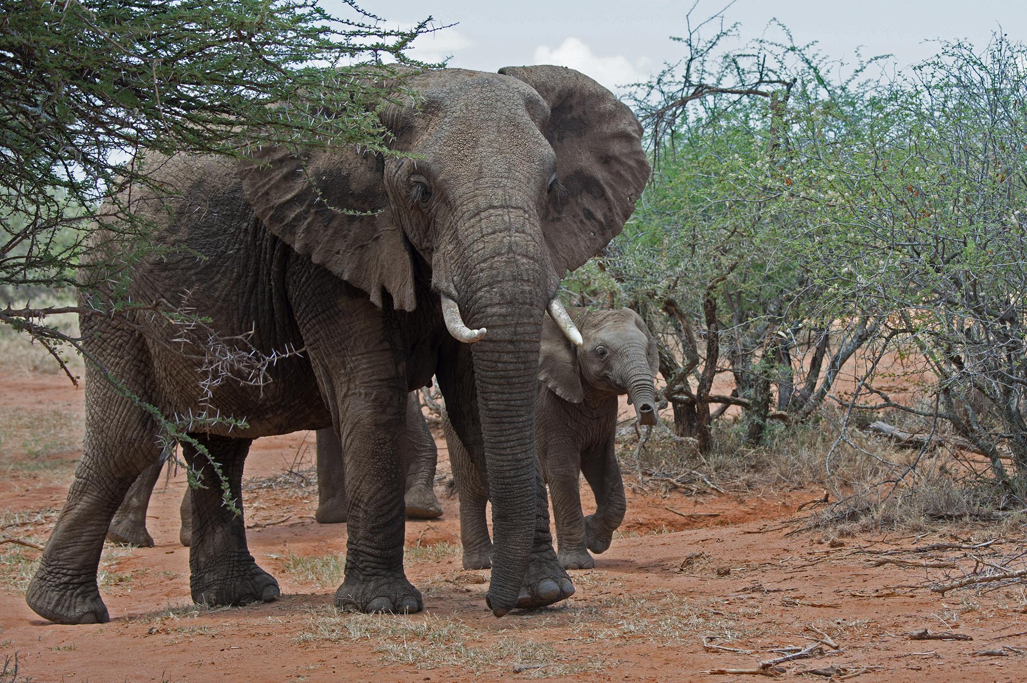 4-Julie-Larsen-Maher_7586-_African-Elephants_KEN_03-10-14_hr