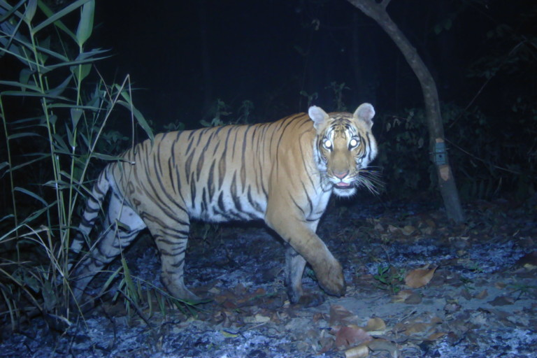 tiger extinction research paper Tigers endangered essays: over 180,000 tigers endangered essays, tigers endangered term papers, tigers endangered research paper, book reports 184 990 essays, term and research papers available for unlimited access.