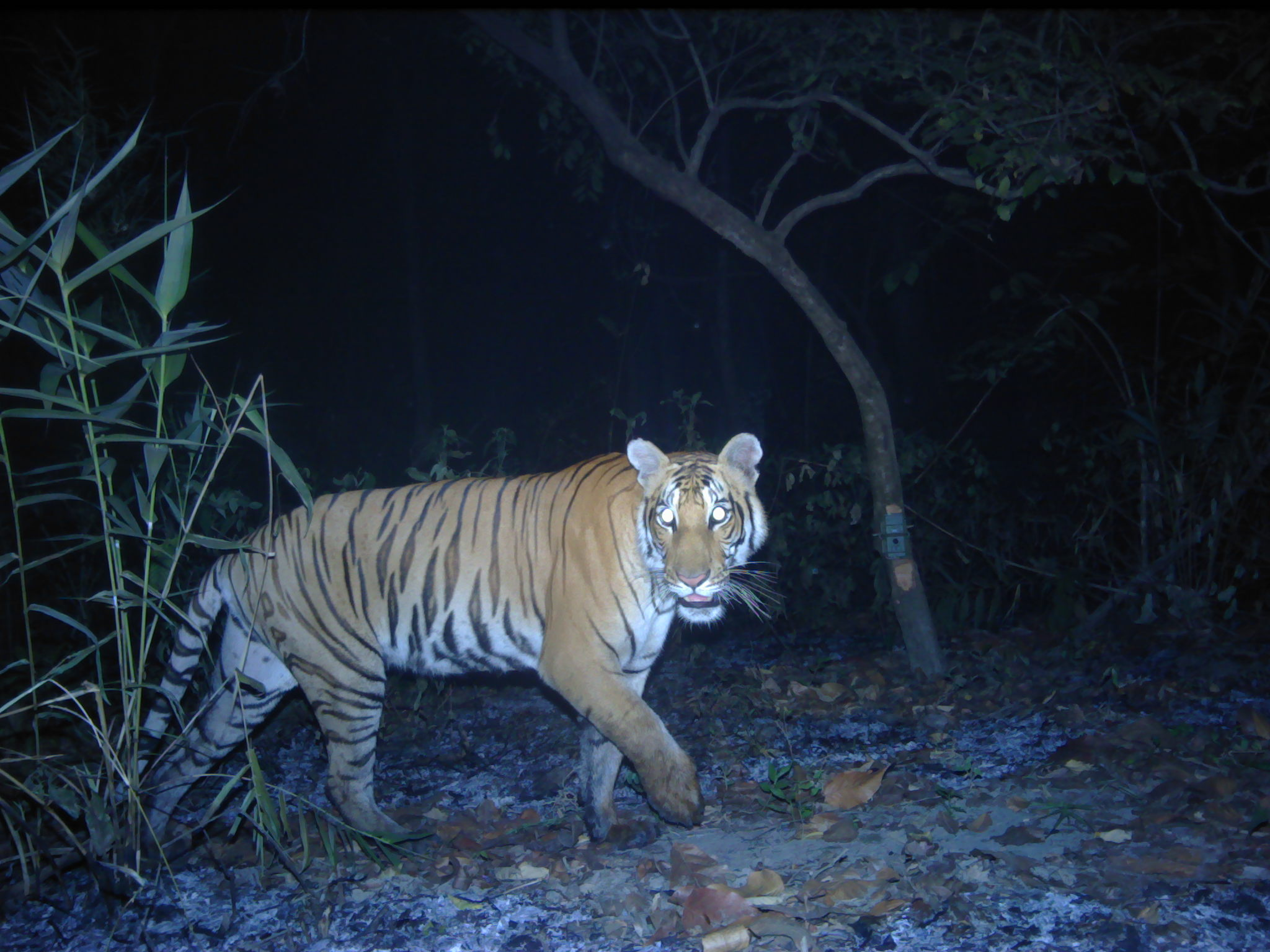 news.mongabay.com - Mike Gaworecki - The tiger population in Nepal's Parsa National Park is recovering rapidly