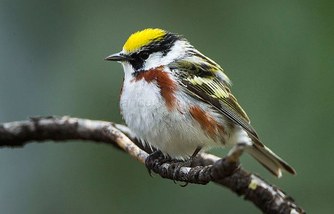 A chestnut-sided warbler, one of 21 migratory bird species in the study. All are associated with forest habitats.