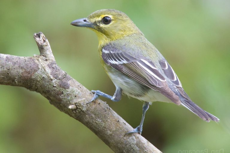 A yellow-throated vireo, another of the migrants in this study.