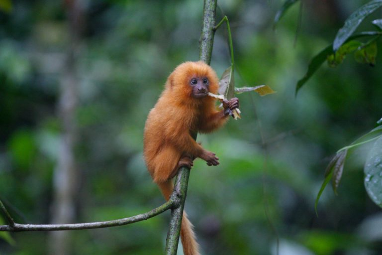 A golden tamarin monkey, a species known to use forest corridors. Photo courtesy of Stuart Pimm/SavingSpecies.