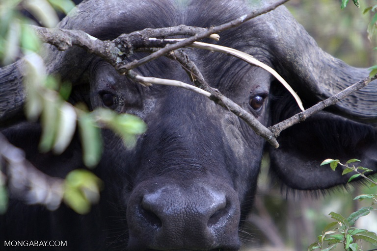 A buffalo in the Eastern Arc Mountains, Tanzania.