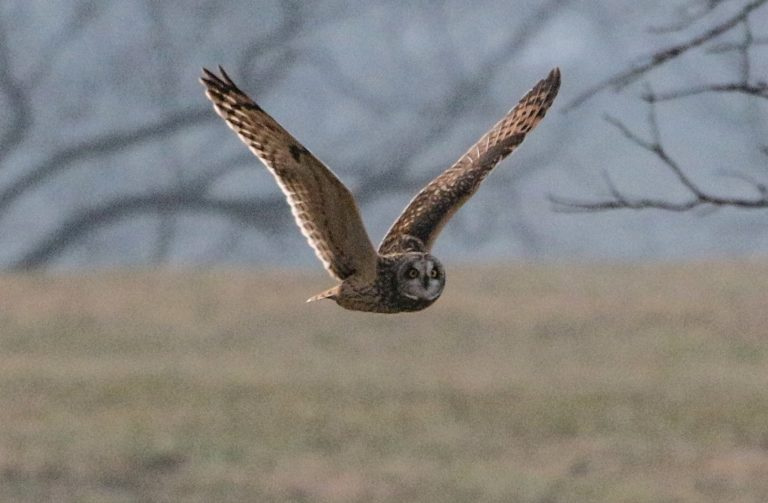 A curious short-eared owl flying by in Virgina, USA.