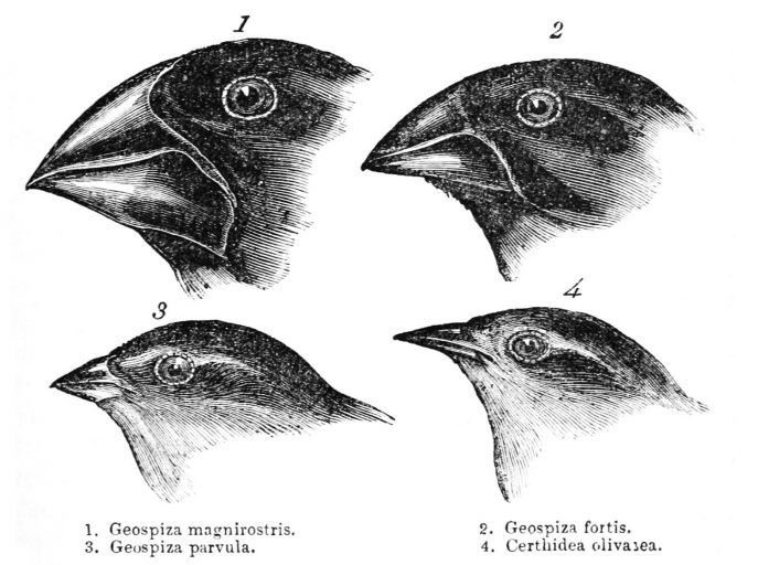 Gould's drawing of the beak differences that distinguish Darwin's finches.