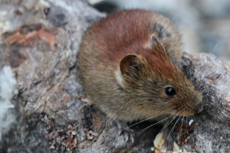 A red-backed vole identified in Alaska.