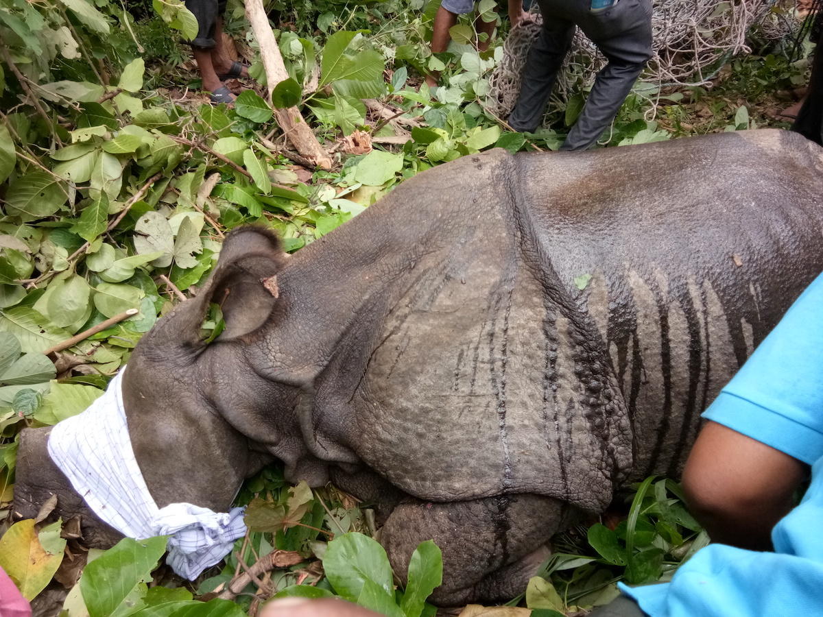 rescued-rhino-courtesy-of-Valmiki-Tiger-Reserve