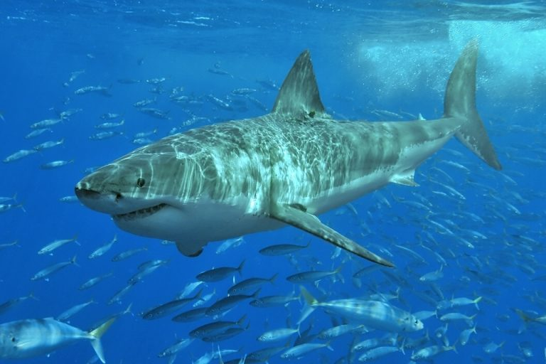 White shark and friends. Great white sharks are classified as Vulnerable by IUCN, meaning they will become endangered if circumstances threatening the species do not change.